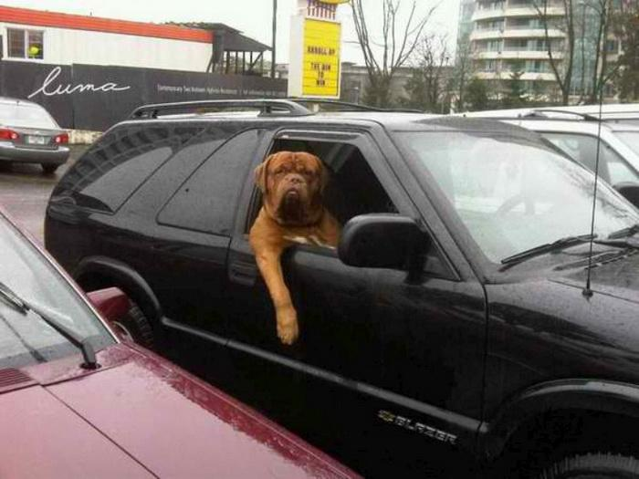 Mastiff in car funny