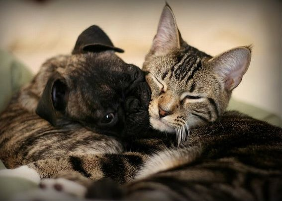 Pug and cat friendship