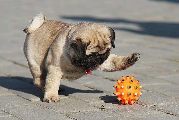 Pug playing with ball