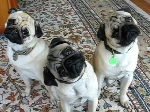 Pugs are listening funny
