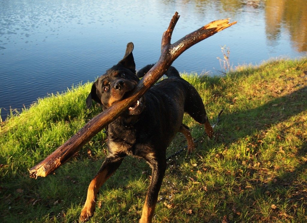 12 Reasons Why You Should Never Own Rottweilers