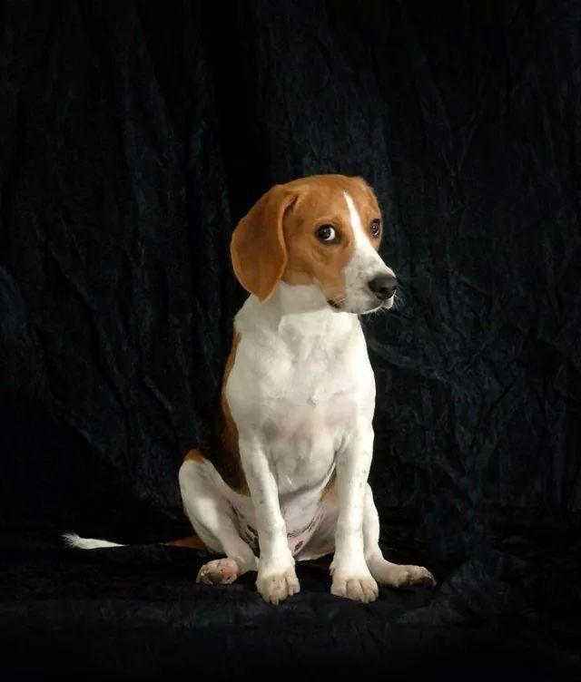 beagle listen