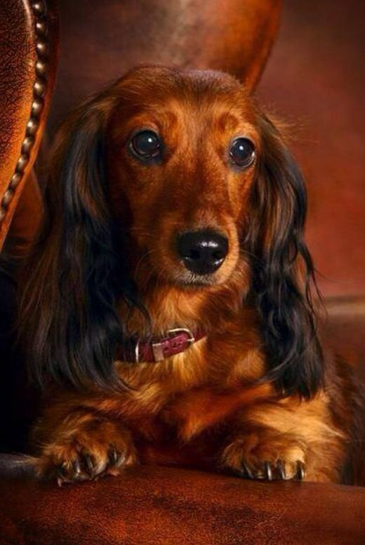 beautiful duchshund