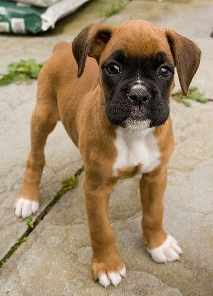 boxer puppy cute dog