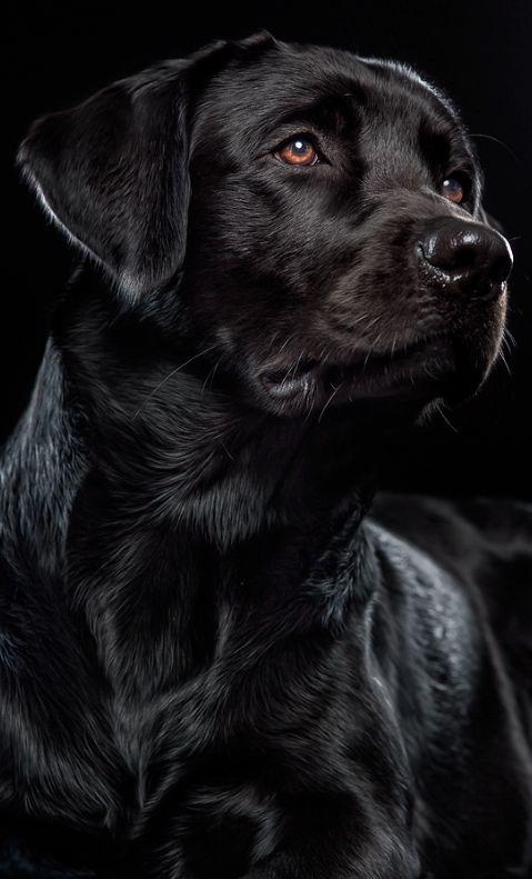 cute black lab