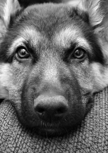 Cats Eyes Road >> 12 Important Reasons To Never Own German Shepherds
