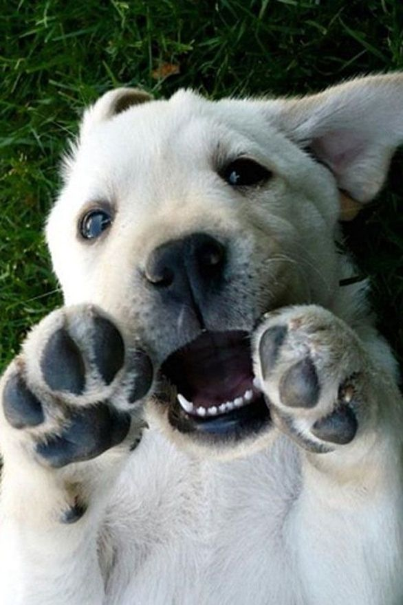 cute dog lab puppy