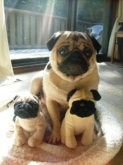 cute dog pug toys