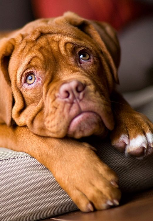 cute face looking mastiff