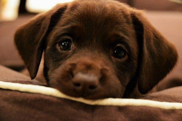 [Image: cute-lab-retriever-puppy-eyes.jpg]