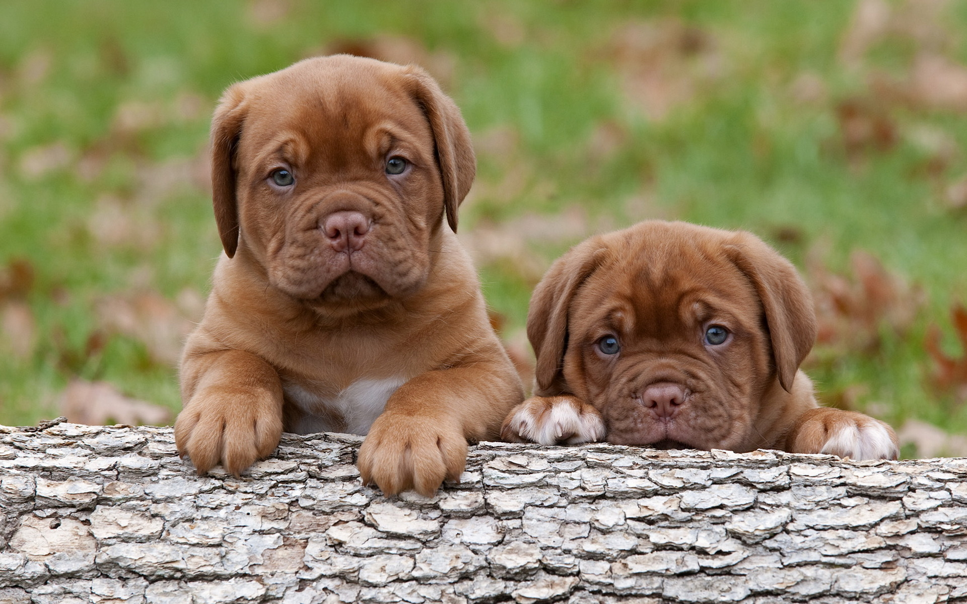 cute mastiff puppies