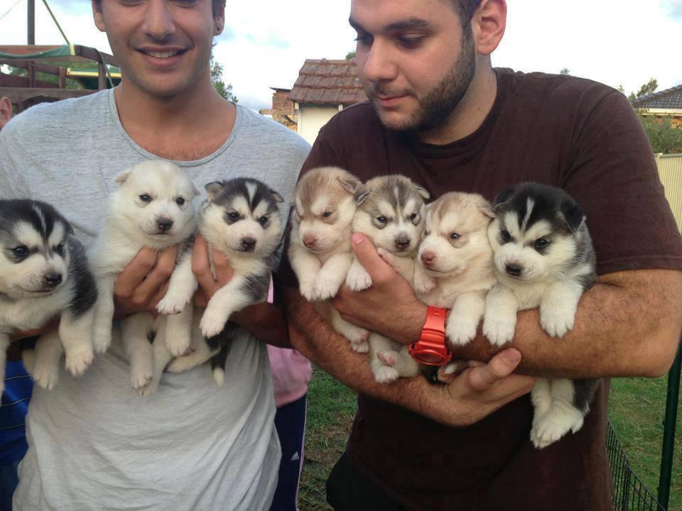 cute puppies husky men