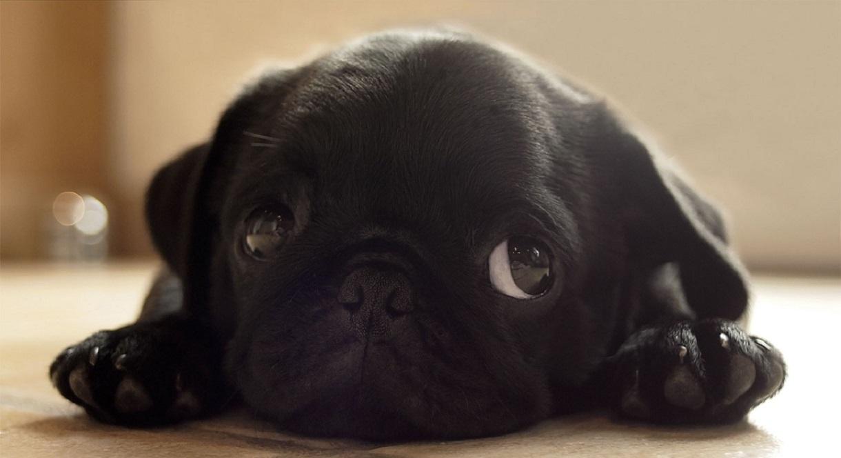 cute puppy black pug