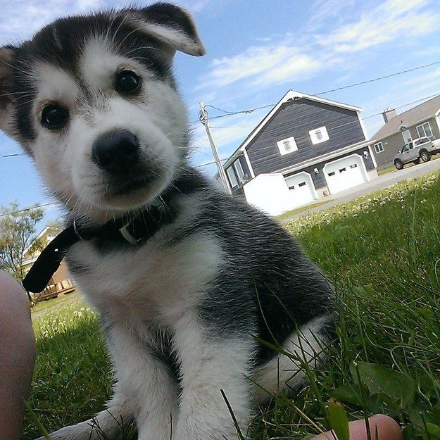 Wonderful Siberian Husky Chubby Adorable Dog - cute-puppy-husky-face-eyes-look  Pictures_139267  .jpg