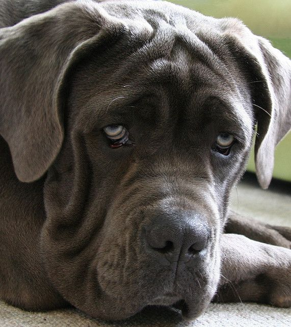 dog face mastiff eyes