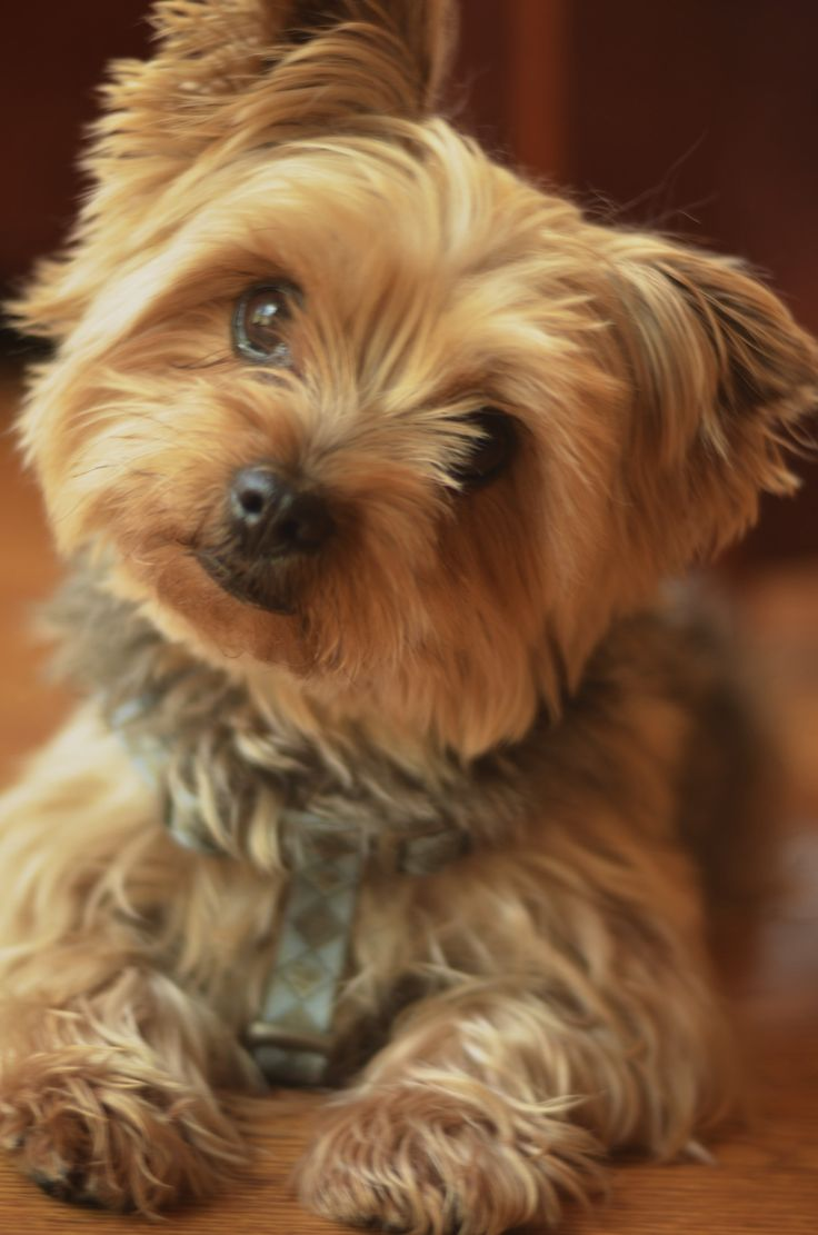 yorkie terrier dogs 12 reasons why you should never own yorkshire terriers 3395