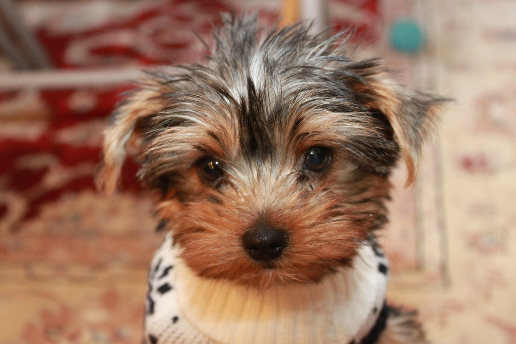 12 Reasons Why You Should Never Own Yorkshire Terriers