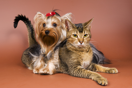 dog yorkie playing with cat
