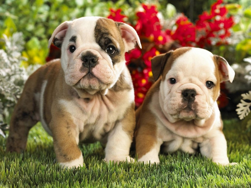 10 Reasons Why You Should Never Own English Bulldogs