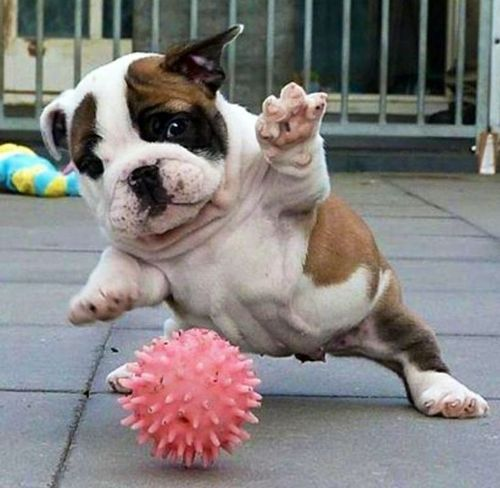 english bulldog puppy playing