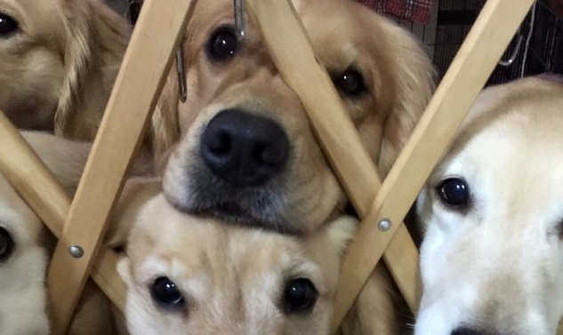 10 Cutest Golden Retrievers You've Ever Seen