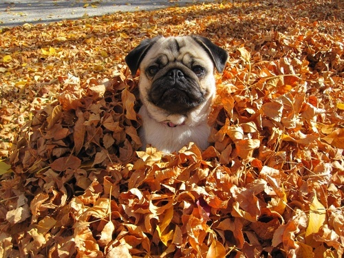 funny dog playing leaves