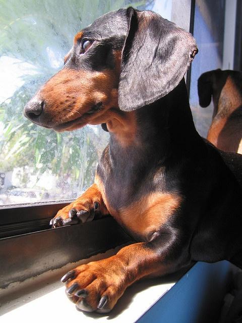 funny duchshund, pics, dog