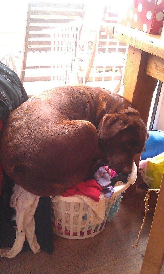 funny lab sleep dog