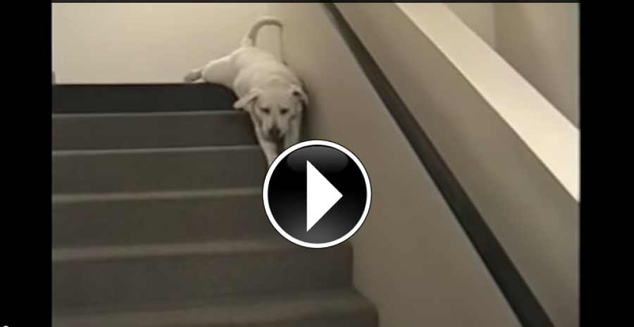 Awesome Compilation Of Our Favorite Labradors