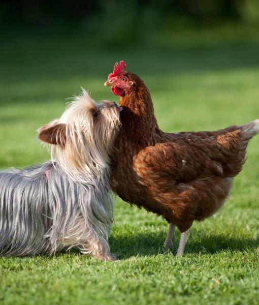 funny yorkie chicken