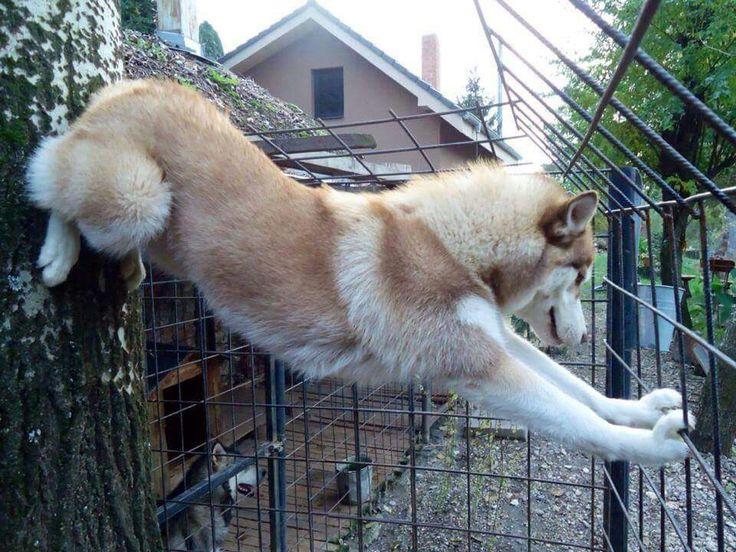 husky problem