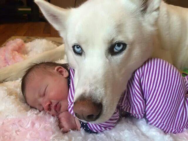 husky protect you