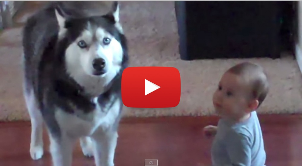 What Is This Husky Singing? Baby Makes Dog Sing – Adorable!