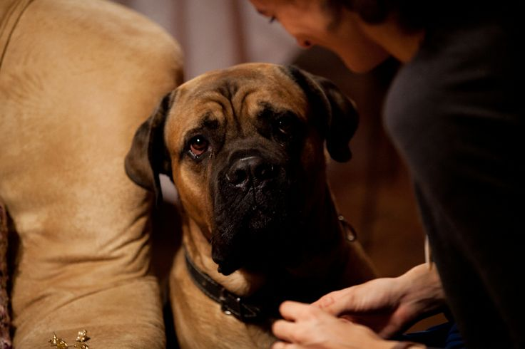 mastiff listen woman cute