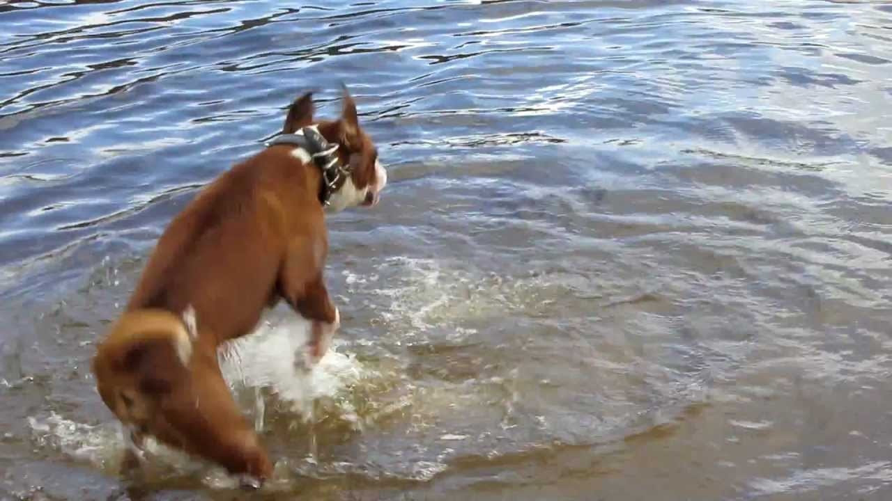 Boxer Dog Running Backwards In Water!
