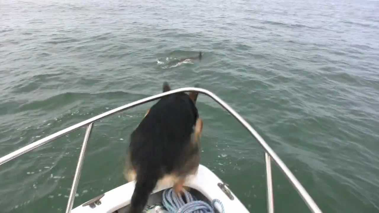 Dog Trying to Catch a Dolphin in the Ocean