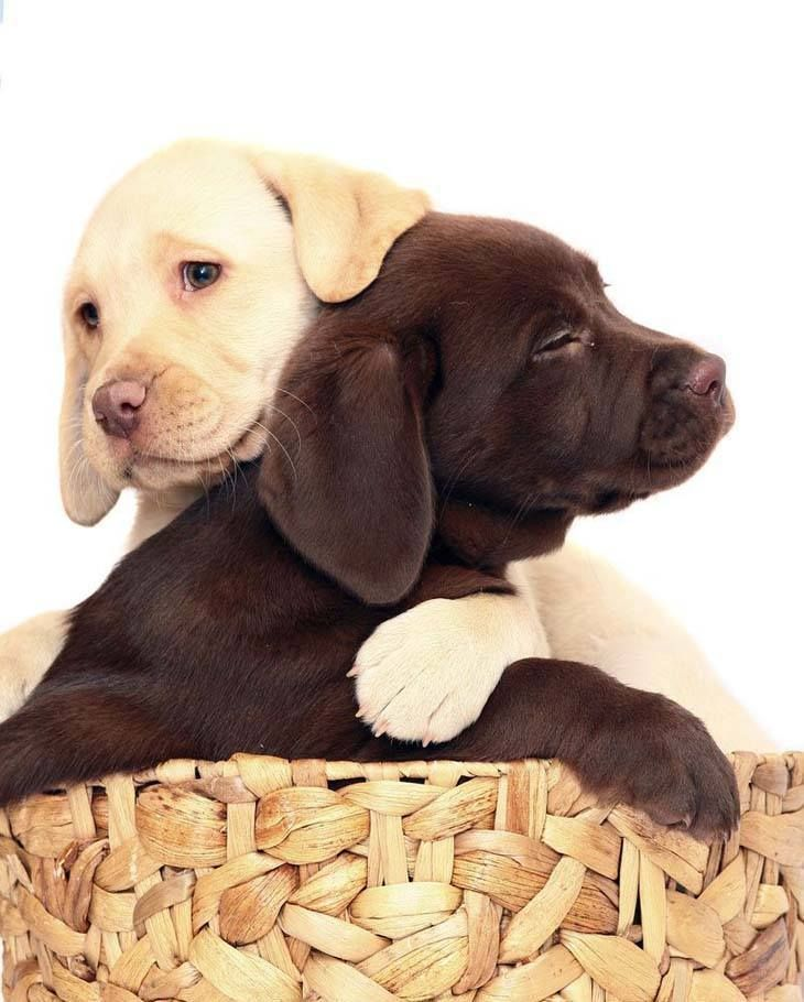 pictures of Labrador Retrievers