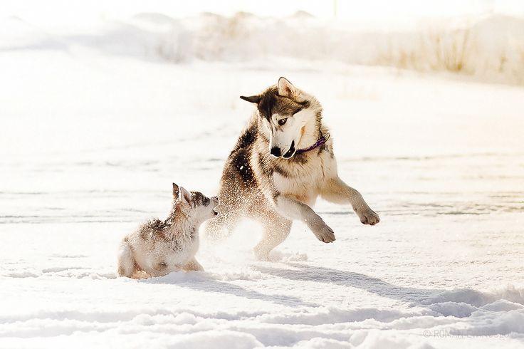 playing huskies winter