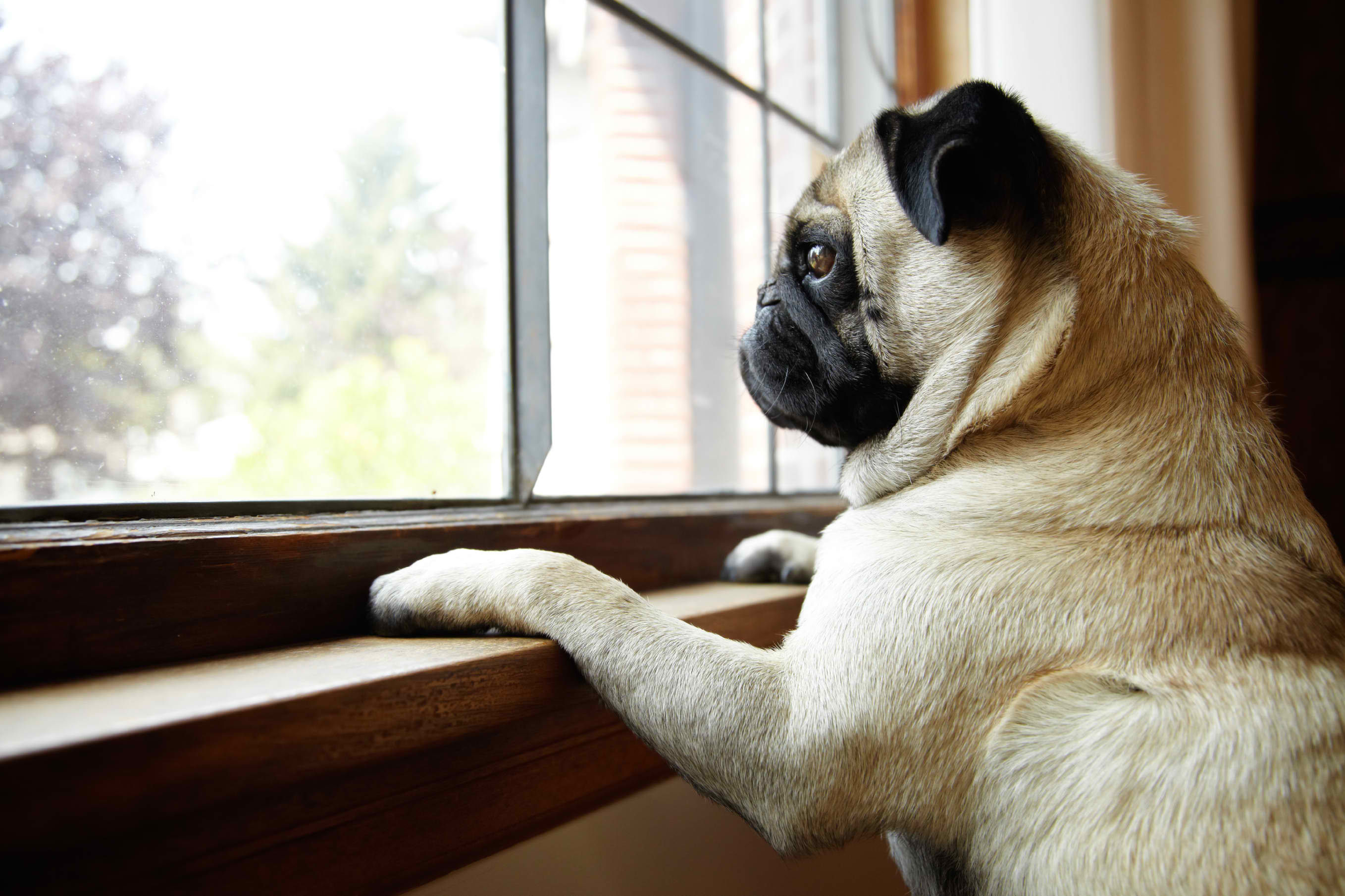 pug waiting for owner at window