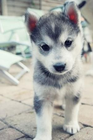 puppy husky cute