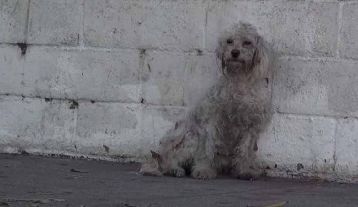 Homeless Poodle Gets Rescued, And Then Does Something Amazing!