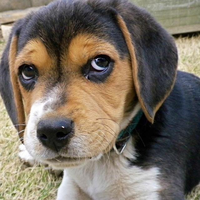 Why Are Beagles The Best Dogs