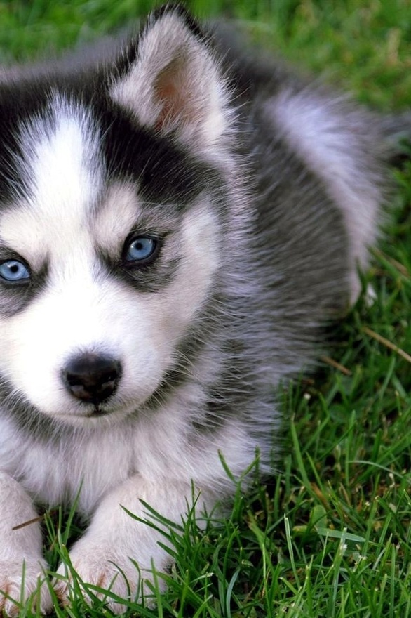 Great Baby Blue Eye Chubby Adorable Dog - siberian-husky-puppy  Snapshot_159816  .jpg