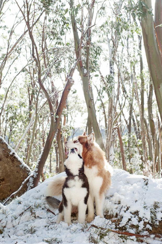 winter huskies sunny dogs