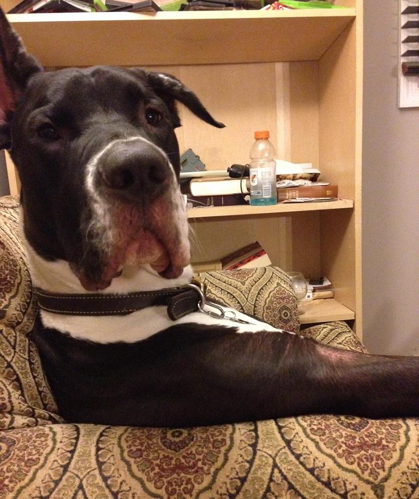Big Great Dane Dog