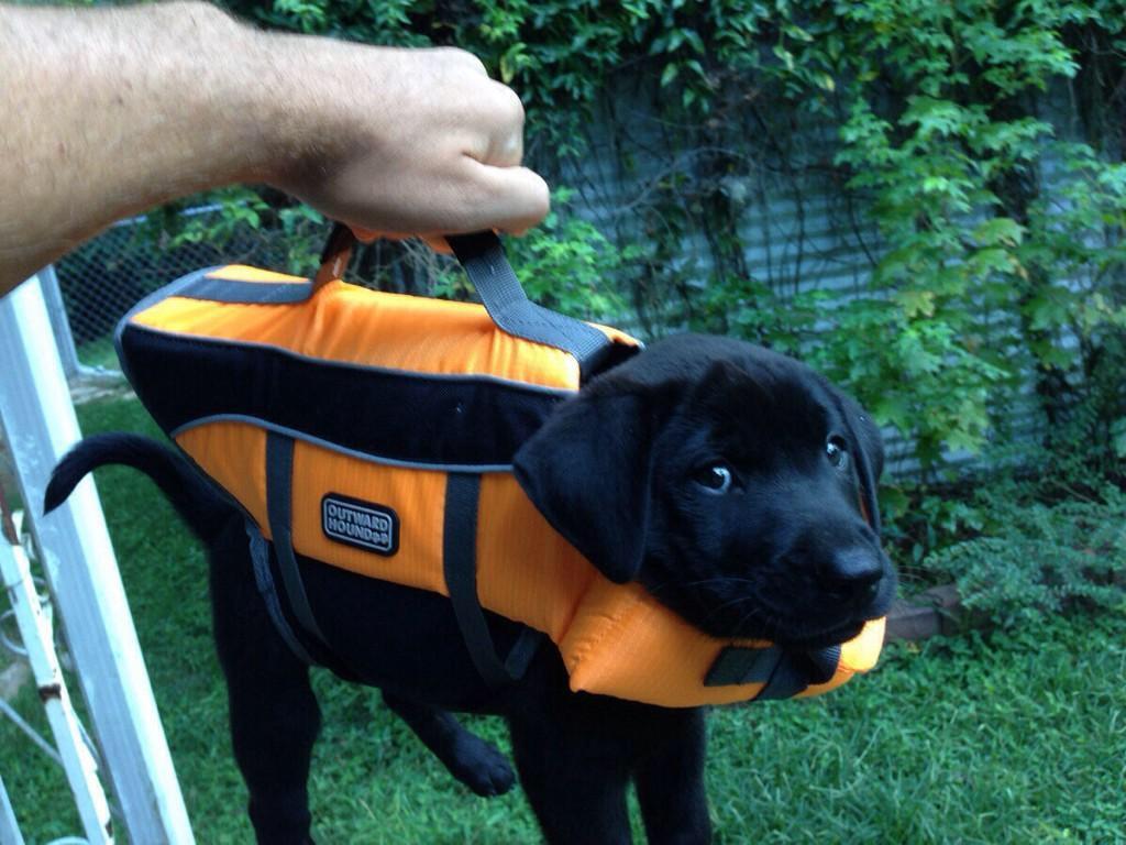 15 Cute Labrador Puppies Make You Smile