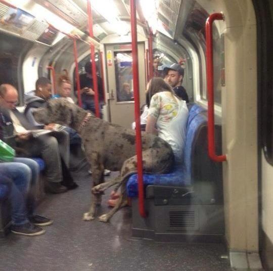 Great Dane on a Train