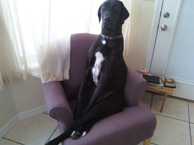 Great Dane sitting on chair
