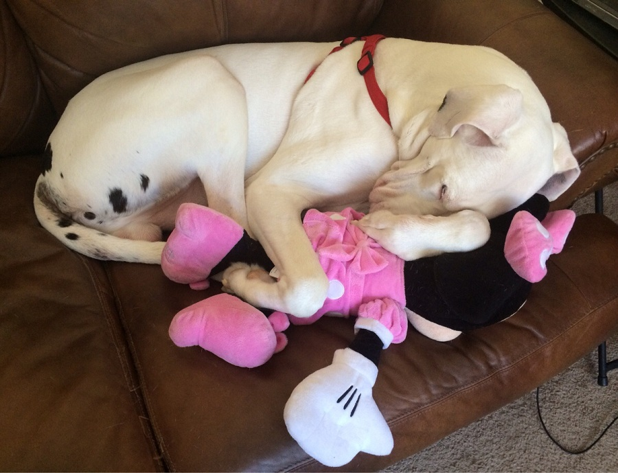 Great Dane sleeps with toy