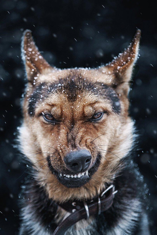 anger dog aggressive german shepherd